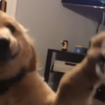 Puppy Knows Just How To Stop His Brother From Barking In His Face