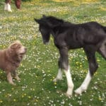 Shar-Pei And A Newborn Foal Frolic Together In The Pasture