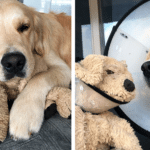 Golden Retriever Brings His Stuffed Doggie Toy Everywhere
