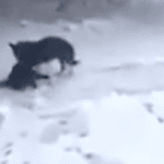 Dog Drags A Freezing Cat From The Snow Into His House To Warm Up