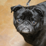 Pug Credited With Helping Two Sisters Realize They Had Breast Cancer
